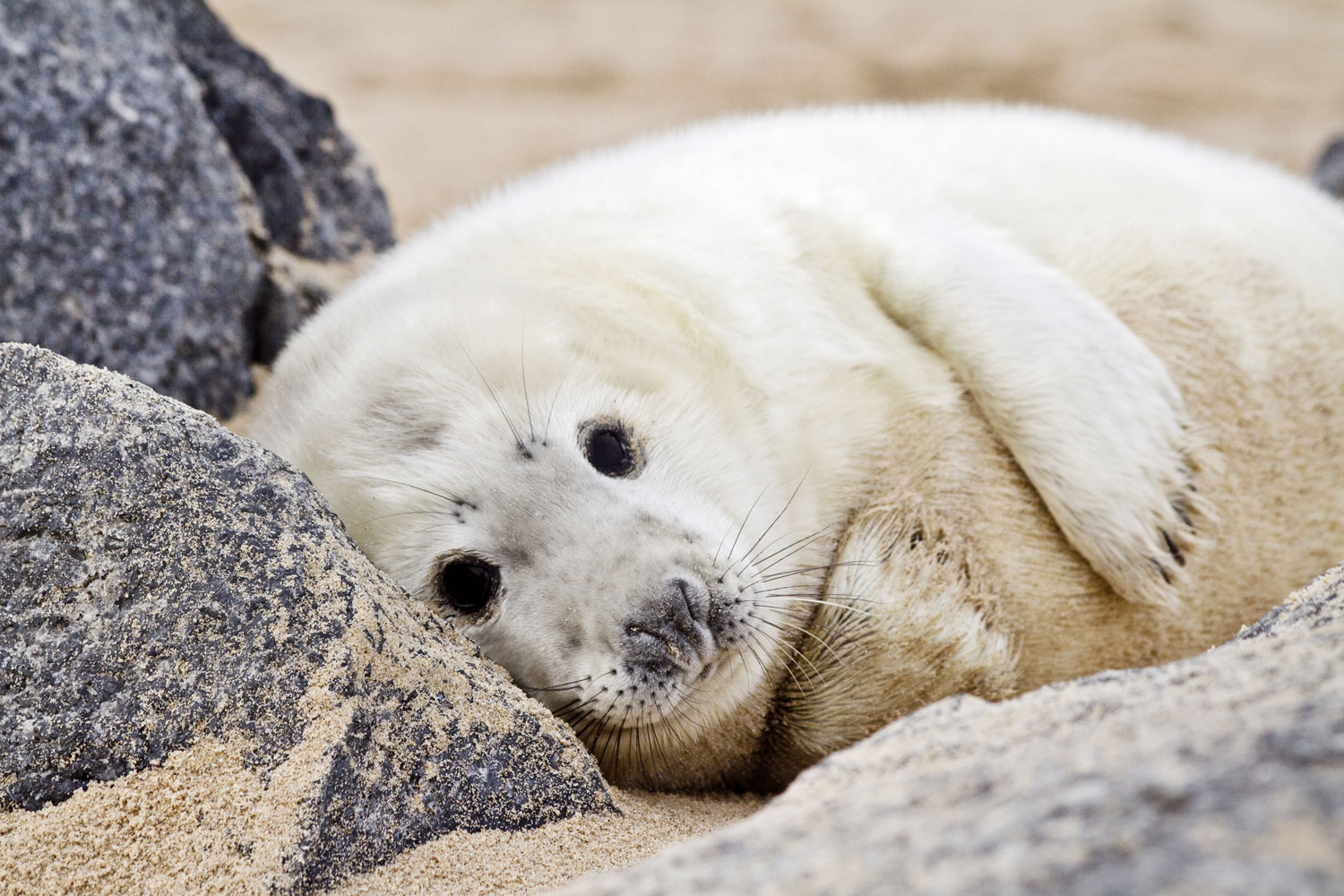 A seal pup on a Norfolk beach