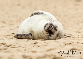 Horsey Seal Pup