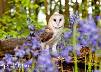 Barn Owl in Bluebells